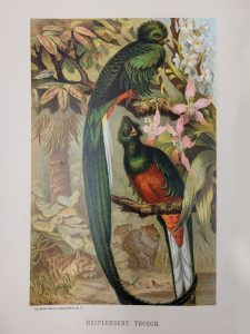 Image of the resplendent trogon bird (which is green and orange) in nature