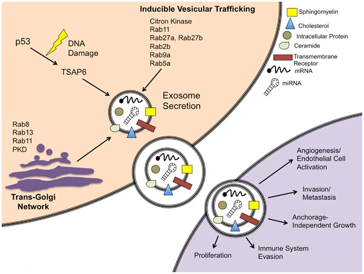 Exosomes in cancer