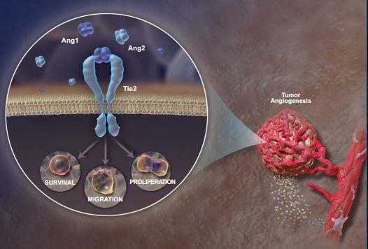 Ang1 and Ang2 angiogenesis
