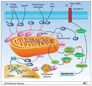 Apoptosis MCl-1
