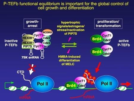 CDK9 - RNA Pol II