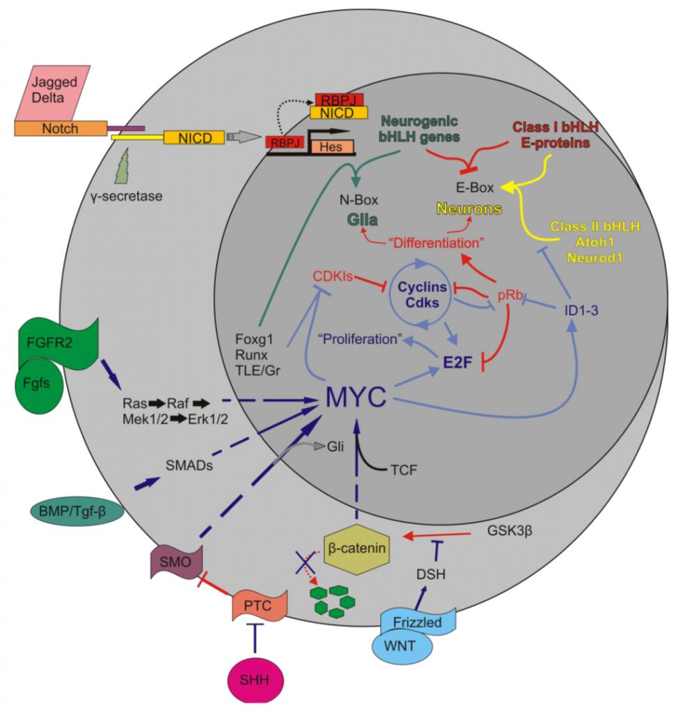 MYC pathways2