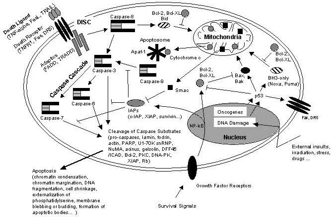 Apoptosis-NFkB