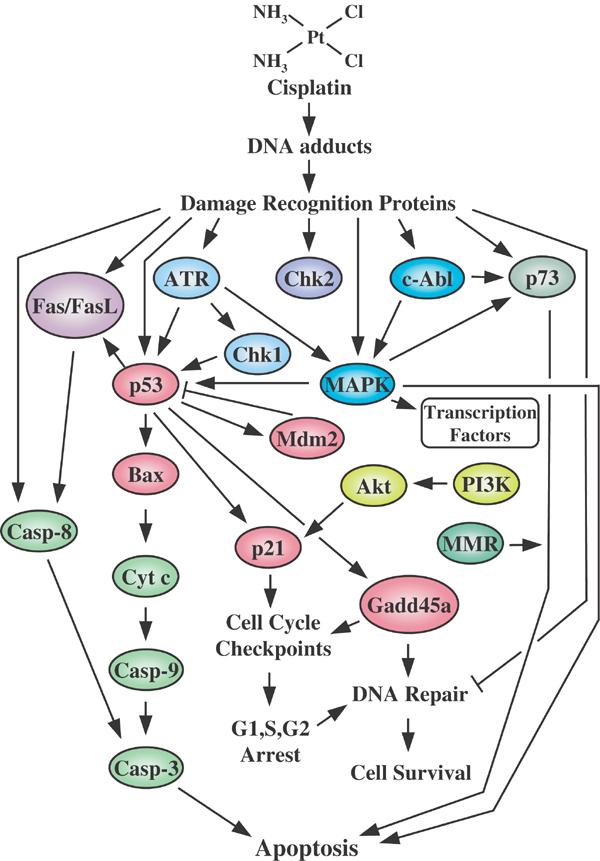 cisplatin mechanism of action