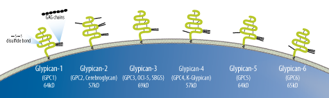 Glypicans Family