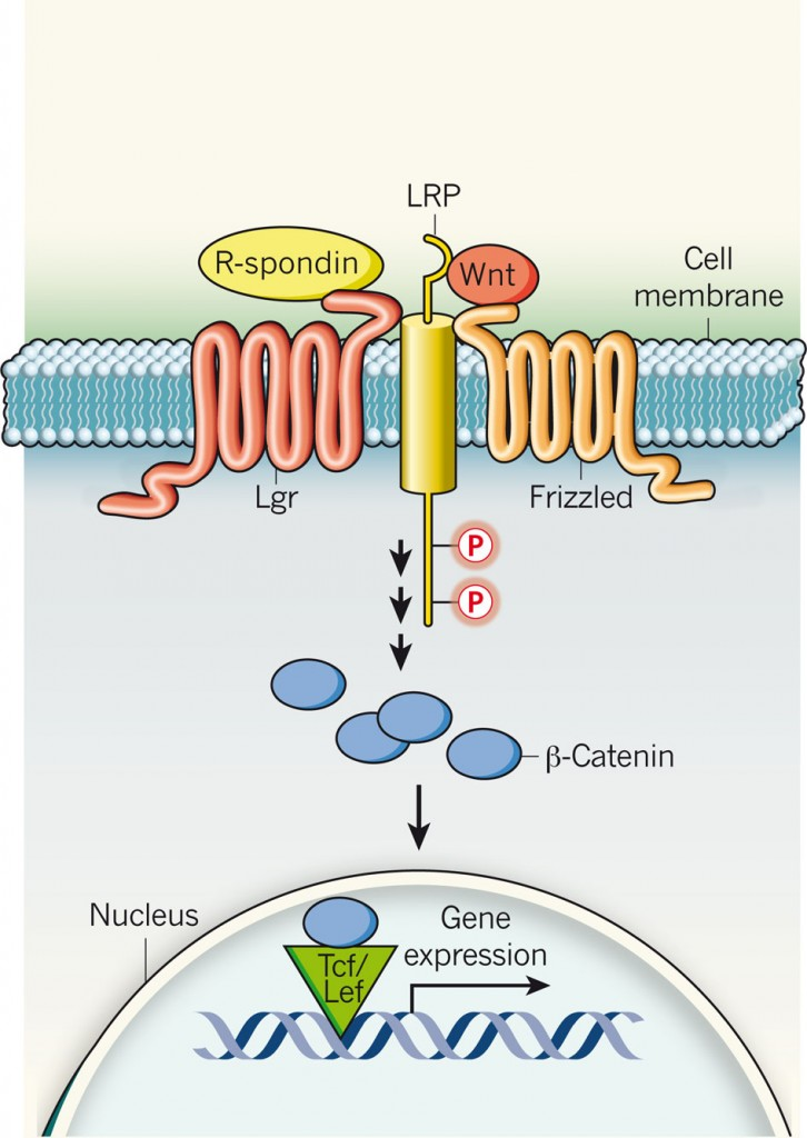 R-spondins activate Lgr membrane proteins, which are also specific stem-cell markers. Lgr proteins then recruit the LRP–Frizzled receptor complex, which binds to Wnt ligands, reinforcing Wnt signalling following phosphorylation (P) of LRP. A series of steps that follow stabilizes β-catenin, which is translocated to the nucleus and, together with the Tcf/Lef family of transcription factors, induces gene expression. http://www.nature.com/nature/journal/v476/n7360/full/476287a.html?WT.ec_id=NATURE-20110818