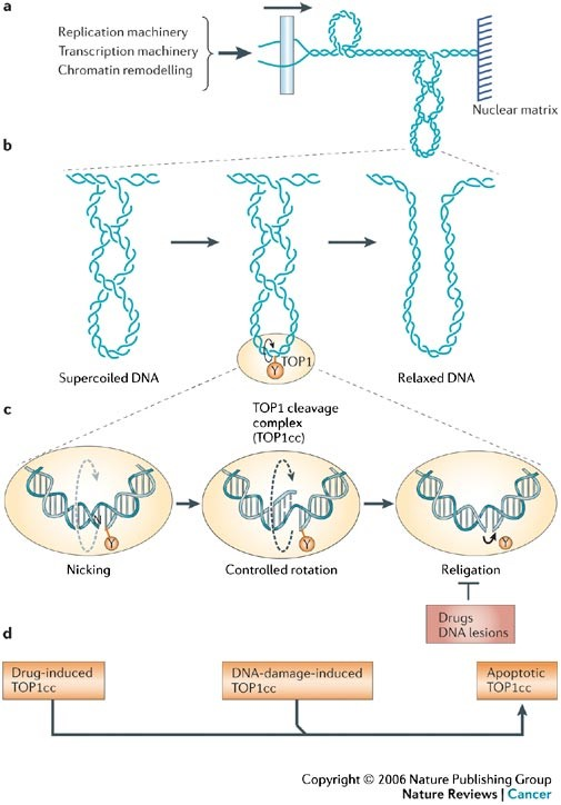 Relaxation of DNA supercoiling by TOP1-mediated DNA cleavage complexes, and the trapping of TOP1 cleavage complexes by drugs, DNA modifications and during apoptosis. a | The generation of DNA supercoiling by DNA replication, transcription and chromatin remodelling. The unwinding of duplex DNA by macromolecular complexes tracking along the DNA (arrow) without rotating freely around the DNA double helix, which is also unable to rotate freely owing to its length or attachment to nuclear matrix regions, generates positive supercoiling ahead of the unwound segment and negative supercoiling behind (negative supercoiling not shown). b | The introduction of DNA single-strand breaks (nicks) by TOP1 provides swivel points that enable the rotation of the intact DNA strand around the break and facilitate DNA relaxation. The cleavage intermediate is referred to as a cleavage complex because TOP1 cleaves DNA by forming a covalent bond to the 3′ DNA terminus that it generates. The covalently linked catalytic tyrosine of TOP1 (Y723 for human TOP1) is shown as the yellow circle. c | An expanded view of DNA relaxation by a TOP1 cleavage complex (TOP1cc). The first step (left) is a transesterification reaction whereby the catalytic tyrosine (Y) becomes linked to the 3′ DNA end (nicking step). In the second step (middle), the torsional strain that results from DNA supercoiling drives the rotation of the 5′ end of the nicked DNA strand around the intact strand. TOP1 encircles the rotating nicked DNA and slows its rotation (FIG. 3a). This process is referred to as 'controlled rotation'. In the last step (right), the 5′ end of the nicked DNA is realigned with the corresponding 3′ end, which enables DNA religation (the closing step of the 'nicking–closing reaction'). TOP1ccs are normally transient because the closing step is much faster than the nicking step. Drugs and DNA lesions inhibit religation by misaligning the ends of the broken DNA. d | TOP1ccs can be stabilized under three conditions: by drugs such as camptothecin (left), by DNA lesions (damage) that misalign the 5′ end of the nicked DNA, and by DNA and TOP1 modifications that occur during programmed cell death (apoptosis). http://www.nature.com/nrc/journal/v6/n10/full/nrc1977.html