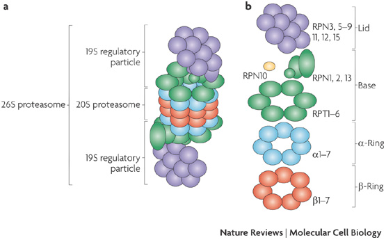 a | The 26S proteasome consists of the catalytic 20S proteasome (a barrel of four stacked rings: two outer -rings and two inner -rings) and the 19S regulatory particle (RP, also known as PA700). b | Subunit composition of the 26S proteasome. The regulatory particle is further divided into the base and the lid subcomplexes, which are composed of regulatory particle triple-A (RPT) and regulatory particle non-ATPase (RPN) subunits. RPN10 is colored yellow because it is supposed to be located at the base–lid interface. http://www.nature.com/nrm/journal/v10/n2/fig_tab/nrm2630_F1.html