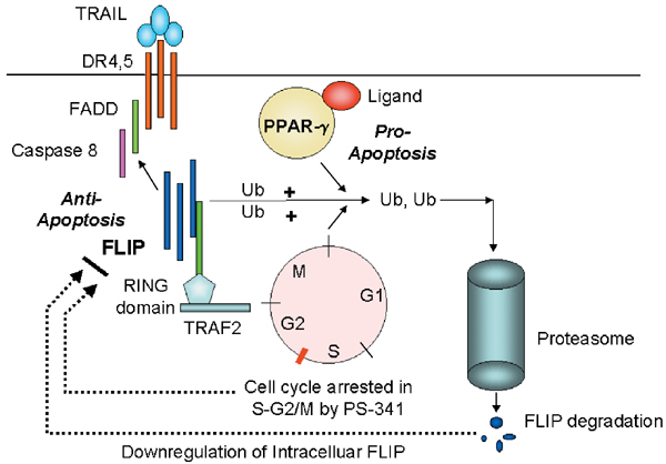 Ubiquitination of FLIP regulates TRAIL-induced apoptosis. The trimeric TRAIL results in the recruitment of death domain receptor 4 or death domain receptor 5 (DR4, DR5) molecules. The TRAIL-induced conformational changes of the DR4/DR5 death domain result in the recruitment of FADD and procaspase-8, which then signals apoptosis. FLIP contains a death domain that can compete with caspase-8 cytoplasmic binding domain of DR4, DR5. The intracellular levels of FLIP are regulated by the proteasome degradation pathway. One proposed pathway is binding of FLIP to TRAF2. TRAF2 contains a RING zinc-finger domain and possesses E3 ligase activity.