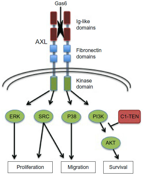 AXL structure and effector pathways. Shown are the primary structural determinants impacting AXL activation and signaling. The regions include the extracellular regions Ig-like and fibronectin domains important for ligand (Gas6) binding and receptor dimerization, as well as intracellular kinase and C-terminal docking regions critical for kinase activity and downstream signaling pathway engagement, as shown. AXL mediates a variety of cellular processes, as indicated. https://www.dovepress.com/axl-receptor-tyrosine-kinase-as-a-therapeutic-target-in-nsclc-peer-reviewed-fulltext-article-LCTT