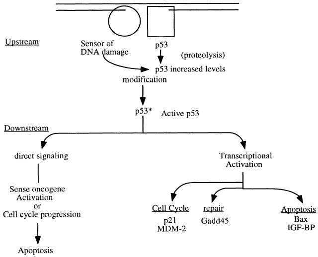 "Figure 1. The Events in p53 Activation - DNA damage (indicated by the break in the double line at the top) is recognized by a ""sensor"" molecule that identifies a specific type of lesion and possibly by the p53 protein, using its C-terminal domain. The sensor modifies p53 (by phosphorylation) when both molecules correctly determine that there is damage. A modified p53 is more stable (enhanced half-life), and a steric or allosteric change in p53 permits DNA binding to a specific DNA sequence regulating several downstream genes (p21, MDM2, GADD45, Bax,IGF-BP, and cyclin G). Two modes of signaling for cellular apoptosis are possible: one requiring transcription and one involving direct signaling with no transcription of downstream genes required."