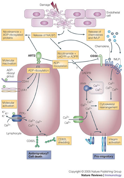 NAD(P) is released from damaged cells. It can then be metabolized by CD38 in a way that promotes directed cell migration to specific stimuli, such as fMLP (N-formyl-methionyl-leucyl-phenylalanine) and certain chemokines. Cyclic ADP-ribose (cADPR), which is produced from NAD(P) by CD38, triggers the release of calcium ions (Ca2+) from ryanodine receptor (RYR)-regulated intracellular stores, and it also causes sustained influx of extracellular Ca2+. This increase in cytosolic Ca2+ concentration enhances chemokine- and fMLP-triggered signals that lead to cytoskeletal rearrangement (and possibly to integrin activation) and directed movement. For other cells, NAD(P) is a substrate for ADP-ribosyltransferases (such as ADP-ribosyltransferase 2, ART2), which drives covalent modifications of specific cell-surface molecules. ADP-ribosylated cell-adhesion molecules and CD38 become functionally inactive. By contrast, ADP-ribosylation of the purinoceptor P2X7 activates this molecule and causes opening of Ca2+ channels and shedding of CD62L. ADPR, ADP-ribose; K+, potassium ion; LFA1, lymphocyte function-associated antigen 1; NAD(P), NAD or NADP. http://www.nature.com/nri/journal/v5/n10/fig_tab/nri1705_F3.html