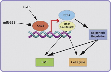 Gene expression profiling has uncovered the transcription factor Sox4 with upregulated activity during TGF-β-induced epithelial-mesenchymal transition (EMT) in normal and cancerous breast epithelial cells. Sox4 is indispensable for EMT and cell survival in vitro and for primary tumor growth and metastasis in vivo. Among several EMT-relevant genes, Sox4 directly regulates the expression of Ezh2, encoding the Polycomb group histone methyltransferase that trimethylates histone 3 lysine 27 (H3K27me3) for gene repression. http://www.genecards.org/cgi-bin/carddisp.pl?gene=EZH2