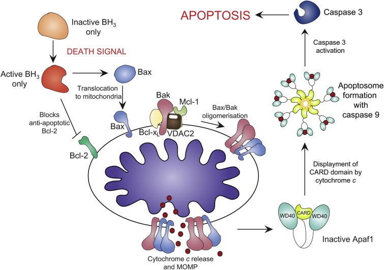 Apoptotic activation via the intrinstic pathway. Apoptotic stimuli activates the BH3-only proteins, concurrently inactivating Bcl-2 and activating Bax translocation to mitochondria. Bak is held in check by Mcl-1, VDAC2 and Bcl-xL. Bax/Bakoligomerisation results in cytochrome c release and MOMP. apaf-1 is activated by cytochrome c binding, displacing the CARD domain. The apoptosome forms with caspase-9, activating caspase-3 and triggering apoptosis. http://bit.ly/1RU0F1c