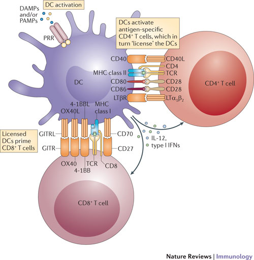 Multiple tumour necrosis factor (TNF) superfamily ligands and receptors sequentially participate in T cell–dendritic cell (DC) crosstalk. The events that occur following the activation of antigen-bearing DCs are outlined in the figure. DCs are activated by pathogen-associated molecular patterns (PAMPs) or damage-associated molecular patterns (DAMPs) and consequently upregulate their expression of CD40, MHC molecules and the co-stimulatory molecules CD80 and CD86. The presentation of peptide antigens in the context of MHC class II molecules to antigen-specific CD4+ T cells, together with co-stimulatory signals (from CD80 and/or CD86), results in the activation of CD4+ T cells and the upregulation of the DC licensing factors CD40 ligand (CD40L) and lymphotoxin-α1β2(LTα1β2). Expression of CD40L and LTα1β2 on activated antigen-specific CD4+ T cells induces signalling through CD40 and the LTβ receptor (LTβR), and this licenses DCs. CD40 signalling results in the production of interleukin-12 (IL-12) and the upregulation of CD70, CD86, 4-1BB ligand (4-1BBL), OX40 ligand (OX40L) and GITR ligand (GITRL), whereas LTβR signalling leads to the production of type I interferons (IFNs). PAMPs and DAMPs also contribute to these events. Priming of CD8+ T cells by MHC class I-restricted peptides results in the upregulation of CD27, 4-1BB, OX40 and GITR (glucocorticoid-induced TNFR-related protein). Stimulation of these receptors on CD8+ T cells by their cognate TNF superfamily ligands, in combination with IL-12 and type I IFNs, results in robust CD8+ T cell activation, proliferation and effector function, as well as the formation and maintenance of CD8+ T cell memory. PRR, pattern-recognition receptor; TCR, T cell receptor. http://www.nature.com/nri/journal/v12/n5/fig_tab/nri3193_F1.html