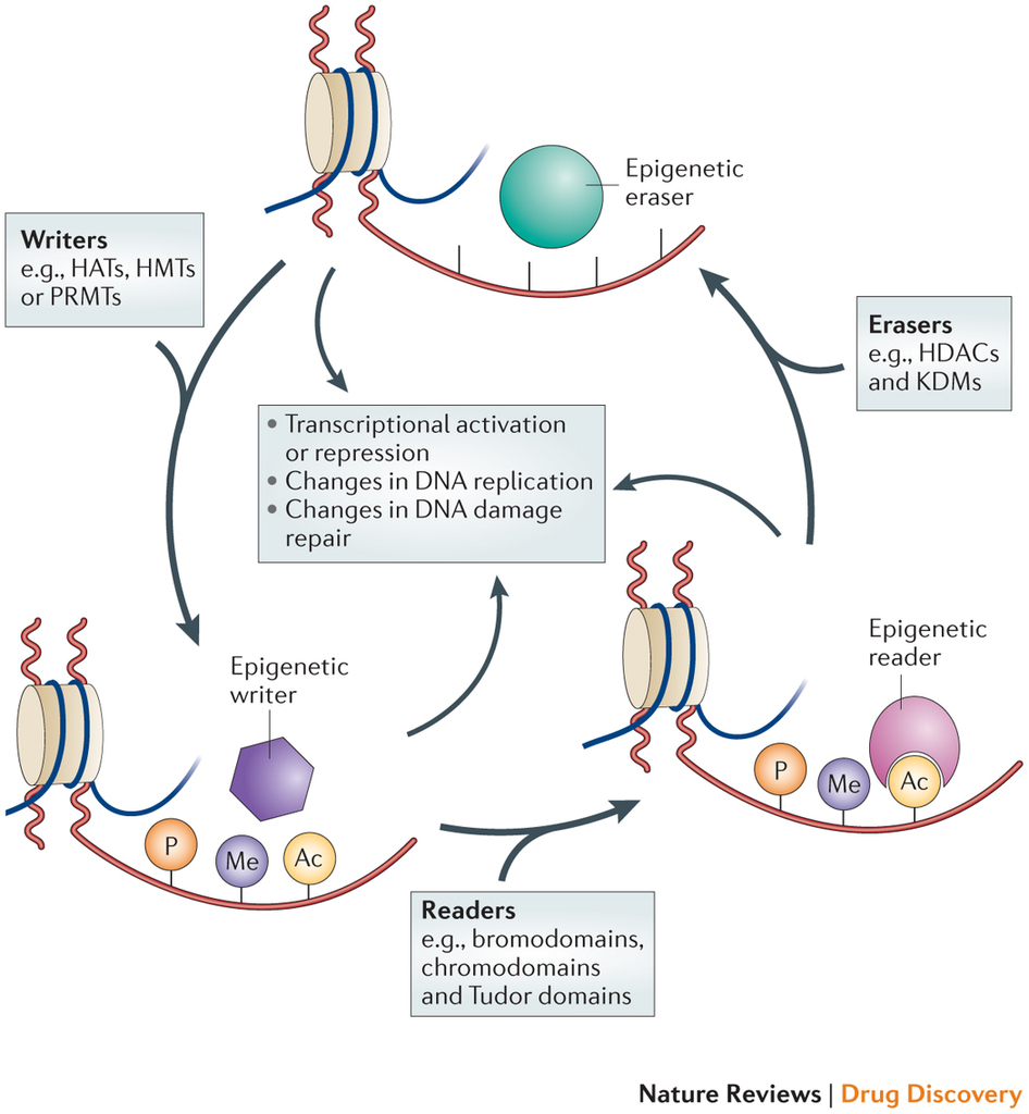 Epigenetic regulation is a dynamic process. Epigenetic writers such as histone acetyltransferases (HATs), histone methyltransferases (HMTs), protein arginine methyltransferases (PRMTs) and kinases lay down epigenetic marks on amino acid residues on histone tails. Epigenetic readers such as proteins containing bromodomains, chromodomains and Tudor domains bind to these epigenetic marks. Epigenetic erasers such as histone deacetylases (HDACs), lysine demethylases (KDMs) and phosphatases catalyse the removal of epigenetic marks. Addition and removal of these post-translational modifications of histone tails leads to the addition and/or removal of other marks in a highly complicated histone code. Together, histone modifications regulate various DNA-dependent processes, including transcription, DNA replication and DNA repair. http://www.nature.com/nrd/journal/v13/n9/fig_tab/nrd4360_F1.html