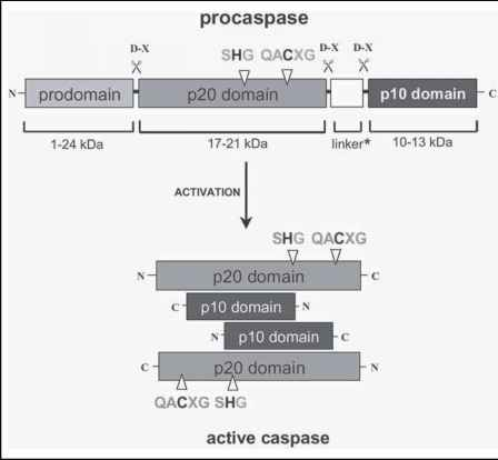 A caspase zymogen exists of a prodomain of variable length (5 to 219 amino acids) followed by a p20 and a p10 domain. (*) A peptide linker separates the latter two domains in caspase-1, -2, -4, -5, -6, -8 and -9. The diagram depicts the position of the catalytic cysteine and histidine residues in the p20 domain and the aspartate-X bonds that are cleaved during the proteolytic maturation of the enzyme. Mature caspase is a heterotetramer, with each heterodimer consisting of a p20 and a p10 subunit. http://www.clicktocurecancer.info/caspase-activation/threedimensional-structure-of-mature-caspases.html