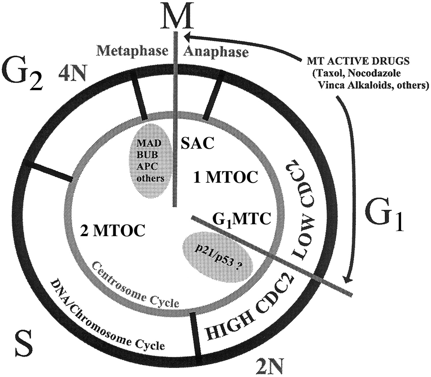 Two MTD-induced cell cycle checkpoints. This illustration shows the proposed relative location of the 2 known cell cycle arrest points in cells with MTD (microtubule damage). SAC indicates spindle assembly checkpoint; G1MTC, G1 phase microtubule checkpoint. The centrosome cycle (1 or 2 MTOC indicates microtubule organizing centers) is shown to be coordinated with the DNA/chromosome cycle (2N or 4N DNA content). The arrests the cell cycle in G1 phase between the shift from a low cdc2-expressing state to a high cdc2-expressing state. http://www.bloodjournal.org/content/97/5/1505?sso-checked=true