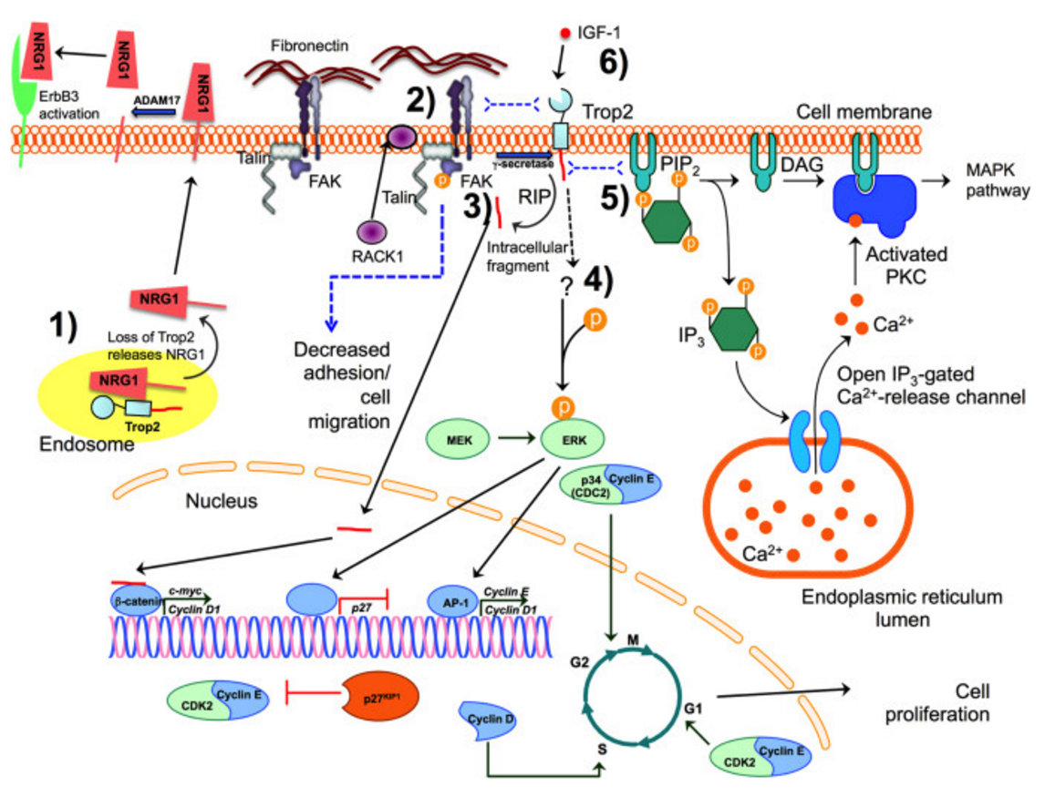 Proposed TROP2 signaling pathways. TROP2 is a membrane-bound protein with a large extracellular domain, a single transmembrane region, and a short intracellular tail, although it is also found in the cytosol. TROP2 may exert its effects on cell proliferation, adhesion, and migration by activating several different intracellular signaling pathways. (1) Membrane-bound (not shown) or intracellular TROP2 binds to and likely sequesters neuregulin 1 (NRG1) and regulates the trafficking of NRG1 to or from the cell surface. Upon loss of Trop2 in some cancers, NRG1 membrane-bound precursors accumulate at the cell surface, where they can be cleaved by ADAM17 releasing the NRG1 ectodomain, which can then bind to and activate the EGF family receptor, ErbB3 (Zhang et al., 2014). (2) TROP2 promotes the localization of RACK1 from the cytoplasm to the membrane, bringing it in closer proximity to integrin β-1, resulting in a decrease in fibronectin binding. TROP2 associates with integrin β-1 and talin, bringing the integrin α5β1/talin complex to the leading edge of the cell and also increases the phosphorylation of FAK. This leads to increased cell motility and decreased cell adhesion (Trerotola et al., 2013b). (3) TROP2 undergoes regulated intramembrane proteolysis (RIP) at two cleavage sites mediated by the γ-secretase complex and results in a large extracellular fragment and a short intracellular fragment. The intracellular fragment can enter the nucleus, where it binds to the β-catenin transcription factor, increasing the expression of cyclin D1 and c-myc (Stoyanova et al., 2012), promoting cell proliferation and self-renewal. (4) TROP2 signals via the MAPK pathway, by regulating the level and phosphorylation of ERK (Cubas et al., 2010; Guerra et al., 2012; Lin et al., 2012; McDougall et al., 2013). TROP2 promotes ERK-mediated activity of the AP-1 transcription factor, increasing the expression of cyclin D1, cyclin E, and cyclin-dependent kinases (CDK), promoting cell cycle prog