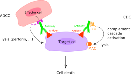 Figure 2: Complement-Dependent Cytotoxicity and Antibody-Dependent Cellular Cytotoxicity. In complement-dependent cytotoxicity (CDC), the C1q binds the antibody and this binding triggers the complement cascade which leads to the formation of the membrane attack complex (MAC) (C5b to C9) at the surface of the target cell, as a result of the classical pathway complement activation. In antibody-dependent cellular cytotoxicity (ADCC), Fc gamma receptors (FcγR or FCGR) on the surface of immune effector cells bind the Fc region of an antibody, itself specifically bound to a target cell. The cells that can mediate ADCC are nonspecific cytotoxic cells such as natural killer cells, macrophages, monocytes and eosinophils. Upon FCGR binding to the antibody, the FCGR ITAM is phosphorylated, which triggers the activation of the effector cell and the secretion of various substances (lytic enzymes, perforin, granzymes, TNF) that mediate the destruction of the target cell. (http://www.imgt.org/IMGTeducation/IMGTlexique/A/ADCC_and_CDC.html)