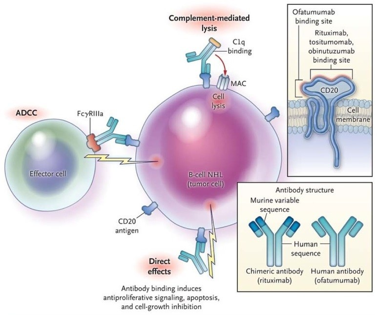 Figure 3: Mechanisms of Action of Anti-CD20 Antibodies. Anti-CD20 antibodies bind to the CD20 molecule on the surface of the malignant B cell in non-Hodgkin's lymphoma (NHL), leading to cell death. Three mechanisms of action of anti-CD20 antibodies have been proposed. In complement-dependent cytotoxicity, the first component of complement (C1) binds to the Fc portion of the anit-CD20 molecule, resulting in the activation of the complement cascade and cell lysis through the formation of membrane attack complexes (MAC). In antibody-dependent cell-mediated cytotoxicity (ADCC), effector cells, such as natural killer cells or macrophages, bind to the Fc portion of the anti-CD20 molecule through Fcγ receptors; the effector cells then release effector molecules such as perforin, which causes cell lysis. In direct cytotoxicity, the anti-CD20 antibody induces internal signaling within the tumor cell, causing antiproliferative effects or cell death, which may involve apoptosis or other cell-death pathways. In the top inset, anti-CD20 antibodies bind to an extracellular portion of the CD20 molecule. Most anti-CD20 antibodies, including rituximab, tositumomab, and obinutuzumab, bind to the larger of the two extracellular loops within the CD20 molecule; this loop includes the alanine-N-proline (ANP) residues at positions 170 to 172. Ofatumumab binds to two sites on the CD20 molecule: the smaller extracellular loop and positions 159 to 166 on the larger loop. This unique binding pattern of ofatumumab, which results in increased proximity of the antibody to the cell membrane, may account for the greater potency of the drug in inducing complement-mediated lysis. In the lower inset, the structure of chimeric and human antibodies is shown. (http://mulicia.pixnet.net/blog/post/29459210-%5Bnejm%5Danti-cd20-antibody-therapy-for-b-cell-lymphomas)
