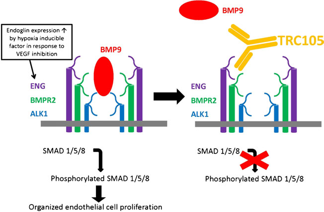 Figure 3: TGF-β and BMP9 signaling pathways in endothelial cells. In endothelial cells, TGF-β1 and –β3 bind to TβRII which then recruits and phosphorylates ALK5 or ALK1. These two type I receptors signal via Smad 2,3 and Smad 1,5,8 respectively. Smad4 is responsible for transfer of Smad complexes to the nucleus where they regulate gene transcription. BMP9 binds to ALK1 and BMPRII and signals via Smad 1,5,8 pathway. Endoglin can modulate all of these pathways in a cell and context-dependent manner. http://www.placentajournal.org/article/S0143-4004(13)00793-5/fulltext