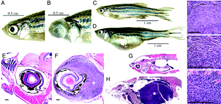 Comparison of wild type zebrafish (P53wt/wt) (A,E and C,G) with tumor formation on P53-/- zebrafish (B,F and D,H). Biological Sciences - Genetics: Stéphane Berghmans, Ryan D. Murphey, Erno Wienholds, Donna Neuberg, Jeffery L. Kutok, Christopher D. M. Fletcher, John P. Morris, Ting Xi Liu, Stefan Schulte-Merker, John P. Kanki, Ronald Plasterk, Leonard I. Zon, and A. Th
