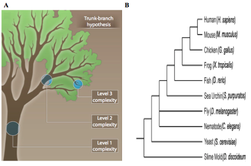 Figure 1: Branched tumor evolution mimics species evolution. A) A branched model for tumor evolution. The trunk of tree represents gene expression features shared by all descendant clones. The initial driver mutations are present in this first level of complexity. The branches (2nd and 3rd levels of complexity) represent increasingly heterogeneous clones, which harbor passenger mutations that may become driver mutations following selective pressure. (Modified from Yap et al., 2012). B) Phylogenic tree of several modern species. Branched cancer evolution parallels the evolution of a species. (Modified from Zaidel-Bar, 2009). http://www.ncbi.nlm.nih.gov/pubmed/22461637 and https://openi.nlm.nih.gov/detailedresult.php?img=PMC2728394_JCB_200811067_LW_Fig1&req=4
