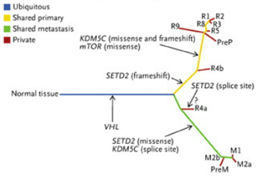 Figure 3: Genetic divergence across the biopsies taken in Fig. 2. The trunk of this tree is an inactivating mutation to the VHL gene, which is shared by all cancer cells. The lower green branch represents mutations to the SETD2 and KDM5C genes which are shared by all metastatic samples. The upper yellow branch represents a mutation to mTOR as well as differently-mutated SETD2 and KDM5C, which are shared by all primary tumor samples. The red lines represent mutations that are unique to that sample. All lines are proportional to the amount of genetic difference separating that sample from its parental branch. (From Gerlinger et al, 2012). http://www.nejm.org/doi/full/10.1056/nejmoa1113205#t=article