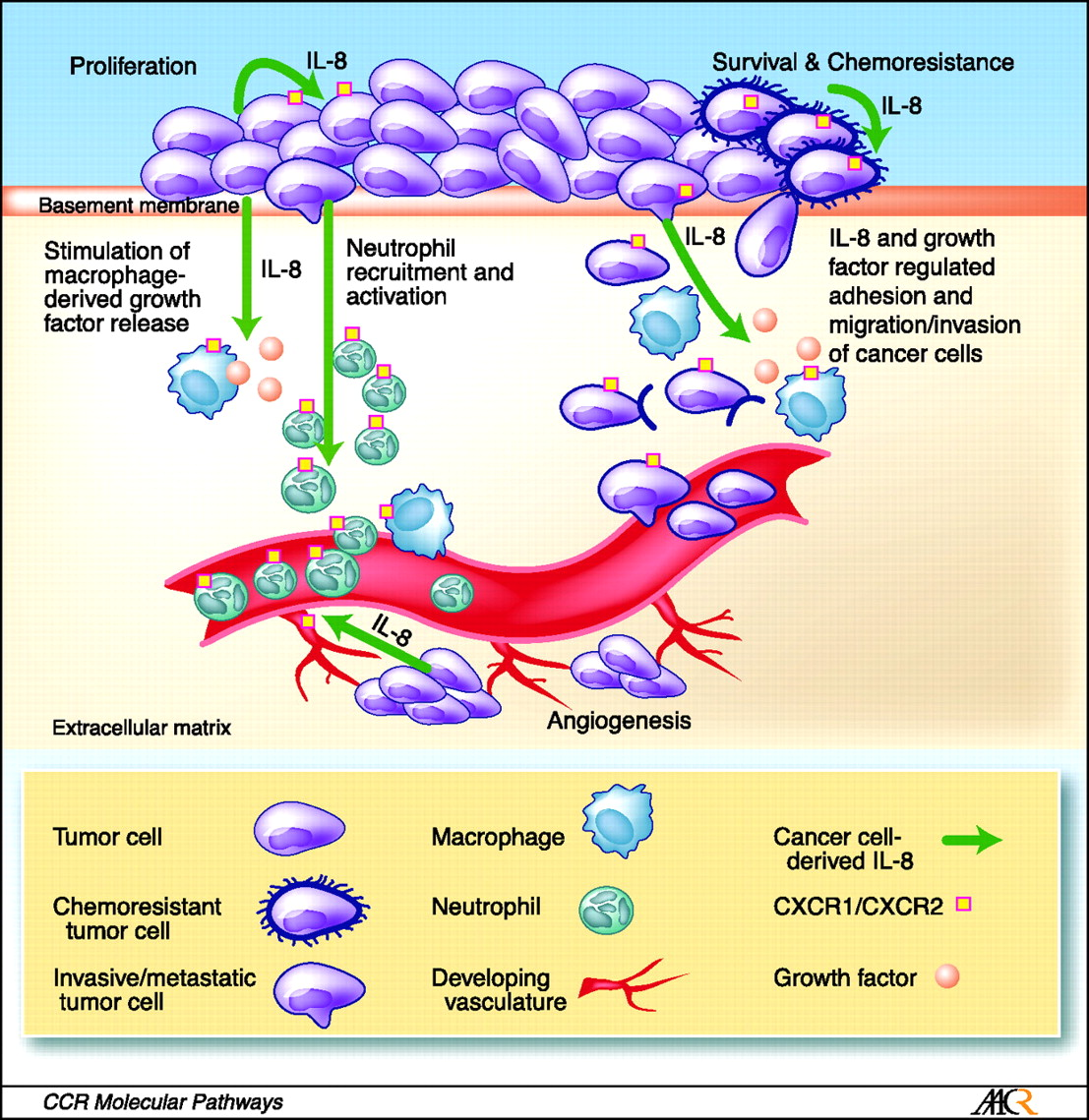 The role of IL-8 signaling in the tumor microenvironment. Tumor-derived IL-8 has the capacity to exert profound effects on the tumor microenvironment. For example, secretion of IL-8 from cancer cells can enhance the proliferation and survival of cancer cells through autocrine signaling pathways. In addition, tumor-derived IL-8 will activate endothelial cells in the tumor vasculature to promote angiogenesis and induce a chemotactic infiltration of neutrophils into the tumor site. Although IL-8 can promote cell invasion and migration, the capacity of IL-8 to induce tumor-associated macrophages to secrete additional growth factors will further increase the rate of cell proliferation and cancer cell invasion at the tumor site. The multiple effects of IL-8 signaling upon different cell types present within the tumor microenvironment suggests that targeting of CXC-chemokine signaling (including but not limited to IL-8) may have important implications to halt disease progression and assist in sensitizing tumors to chemotherapeutic and biological agents. http://clincancerres.aacrjournals.org/content/14/21/6735