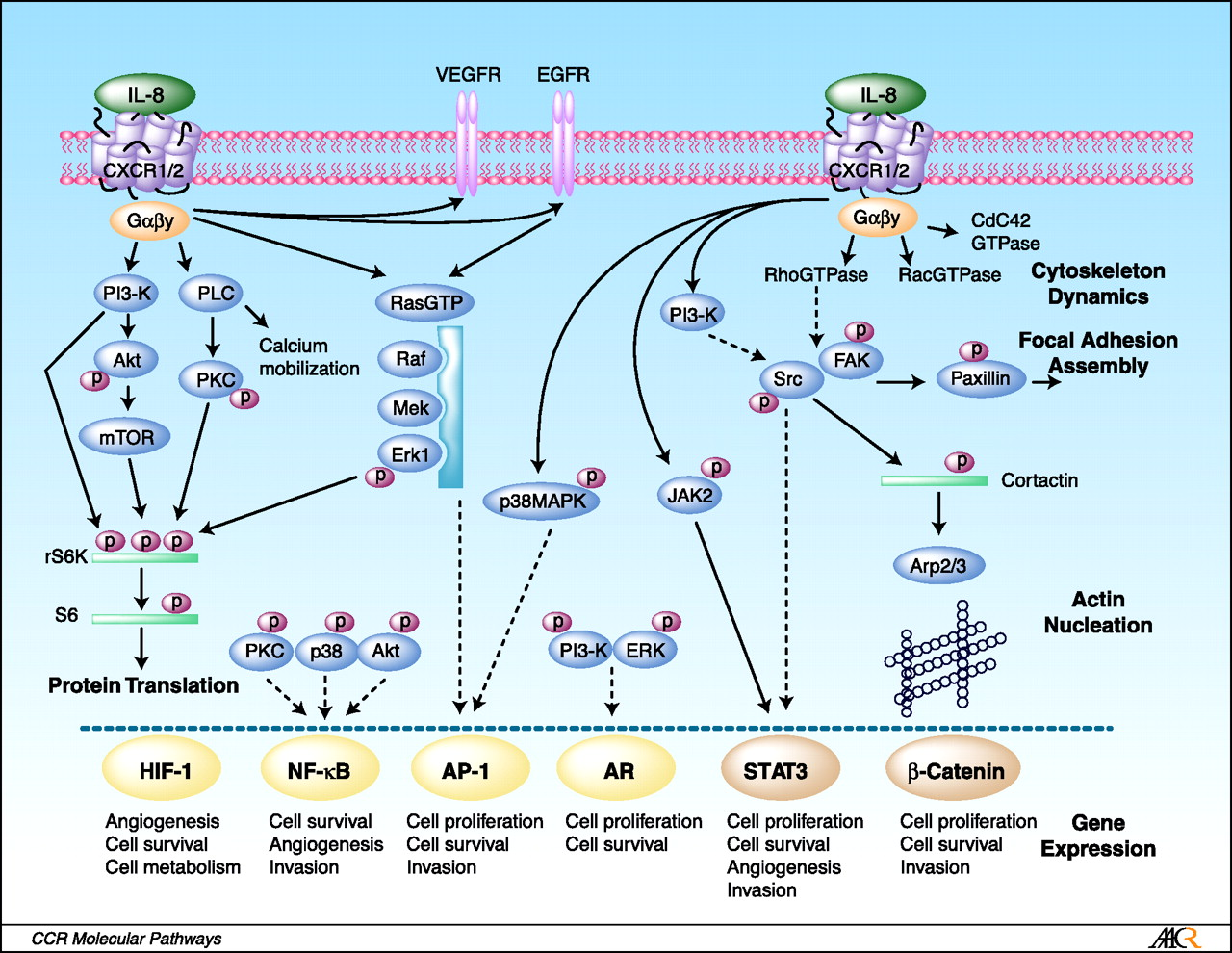 Characterized IL-8 signaling pathways. A schematic diagram illustrating the range of signaling pathways that are activated after stimulation of CXCR1 and/or CXCR2 receptors with IL-8. After activation of heterotrimeric small G proteins, IL-8 signaling promotes activation of the primary effectors phosphatidyl-inositol-3-kinase or phospholipase C, promoting the activation of Akt, PKC, calcium mobilization and/or MAPK signaling cascades. These signaling pathways have been shown to promote protein translation (left) and regulate the activity of a range of transcription factors (bottom). Solid gold lines, transcription factors whose activity has been shown to be positively regulated by IL-8 signaling using various reporter assays. In the case of signal transducers and activators of transcription 3 (STAT3) and β-catenin, IL-8 signaling has been shown to promote nuclear translocation of these factors; however, transcriptional activation of either factor remains to be shown. Dashed lines, the putative pathways through which IL-8 signaling regulates transcription factor activity. In addition, IL-8 signaling activates members of the RhoGTPase family and activates a number of nonreceptor tyrosine kinases (e.g., Src family kinases and FAK) that regulate the architecture of the cell cytoskeleton and its interaction with the surrounding extracellular environment (right). http://clincancerres.aacrjournals.org/content/14/21/6735