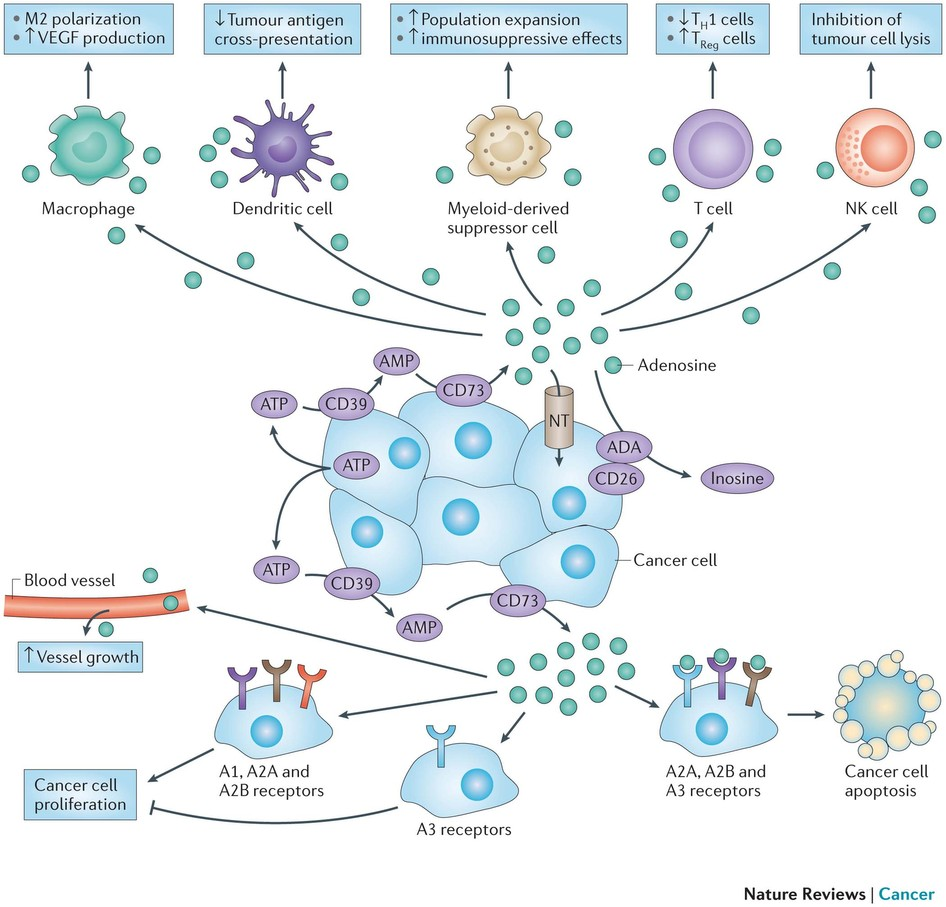 The adenosine pathway participates in the creation of an immune-tolerant tumour microenvironment by regulating the functions of immune and inflammatory cells, such as macrophages, dendritic cells, myeloid-derived suppressor cells, T cells and natural killer (NK) cells. The adenosine pathway also regulates cancer growth and dissemination by interfering with cancer cell proliferation, apoptosis and angiogenesis via adenosine receptors that are expressed on cancer cells and endothelial cells, respectively. Solid tumours express high levels of CD39 and CD73, as well as low levels of nucleoside transporters (NTs), ecto-adenosine deaminase and its cofactor CD26, which lead to an increase in adenosine signalling in the cancer environment. ADA, adenosine deaminase; JNK, JUN amino-terminal kinase; TH1, T helper 1; TReg, regulatory T; VEGF, vascular endothelial growth factor. http://www.nature.com/nrc/journal/v13/n12/fig_tab/nrc3613_F2.html