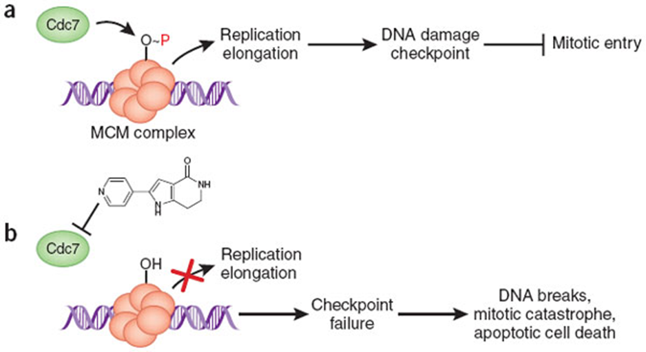 - (a) Cdc7 kinase phosphorylates the MCM complex to stimulate DNA unwinding and activation of DNA polymerases. Sensing of ongoing DNA replication itself is important for activating the DNA damage checkpoint and preventing mitotic entry. (b) Inhibition of the Cdc7 kinase blocks replication initiation, causing failure of the checkpoint and triggering of mitotic failures and apoptotic cell death. http://www.nature.com/nchembio/journal/v4/n6/fig_tab/nchembio0608-331_F1.html
