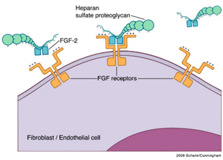 Heparin-FGF interactions. FGF molecules bind to their receptors in the presence of the proteoglycans heparin or heparin sulfate. Two FGF receptors, each with an FGF molecule bound, are linked and stabilized by heparin in a tetrameric complex.39 FGF, fibroblast growth factor. https://www.researchgate.net/figure/24233761_fig2_Figure-2-Heparin-FGF-interactions-FGF-molecules-bind-to-their-receptors-in-the-presence