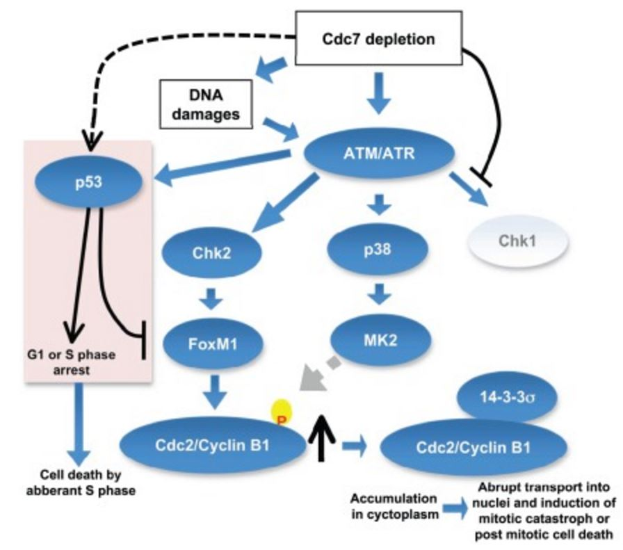 Inhibition of initiation of DNA replication by suppression of Cdc7 kinase leads to activation of ATM/ATR, which may result in the activation of three checkpoint kinases, Chk1, MK2, and Chk2. Since Cdc7 is actively required for activation of Chk1 Chk1 is not activated under this condition. Activated MK2 may phosphorylate Cdc2/Cyclin B1, which in turn may be recognized and bound by 14-3-3σ protein and is sequestered in cytoplasm. Cdc7 depletion can induce DNA damages in cancer cells and activated Chk2 would stabilize the FoxM1 transcription factor, which would induce the expression of CyclinB1. The accumulated CyclinB1 protein is abruptly transported into nuclei and mitotic catastrophe or post-mitotic cell death is induced. In p53-positive cancer cells, p53, activated through ATM/ATR, would induce G1 delay as well as S phase delay possibly through induction of p21. p53 inhibits transcription of FoxM1, thus preventing the induction of Cyclin B1. However, aberrant S phase progression in the absence of Cdc7 would induce cell death in p53-positive cancer cells. https://www.researchgate.net/figure/224934072_fig10_Inhibition-of-initiation-of-DNA-replication-by-suppression-of-Cdc7-kinase-leads-to