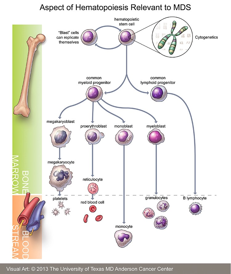 Hematopoiesis - https://www.mdanderson.org/content/dam/mdanderson/images/diseases/Anatomical%20Illustrations/Myelodysplastic_illustration.jpg