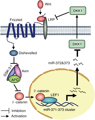 A scheme showing an oncogenic regulatory feedback loop between miR-372&373 and the Wnt/β-catenin-signaling pathway. The miR-371-373 cluster of miRNAs is transcriptionally activated by β-catenin/LEF1 and miR-372&373 represses the DKK1 protein (perhaps TGFBR2, BTG1 and LEFTY1, in addition), which serves as a key antagonist of Wnt/β-catenin signaling, thereby further modulating the Wnt/β-catenin-signaling pathway. http://www.nature.com/onc/journal/v31/n24/fig_tab/onc2011461f6.html