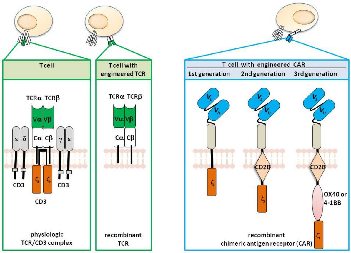 "Figure 2. T cells with engineered specificity. T cells physiologically recognize their target by the T cell receptor (TCR) complex which is composed of the TCR α and β chain for recognition and the CD3 chains for signaling. The variable regions of each TCR chain (Vα and Vβ) together bind to the MHC presented antigen, Cα and Cβ represent the constant domains. T cells can be genetically engineered with defined specificity by expression of recombinant TCR αβ chains of known specificity. In contrast to the TCR, the chimeric antigen receptor (CAR) is one polypeptide chain composed of a single chain fragment of variable region (scFv) antibody for antigen recognition, the extracellular spacer domain, a trans-membrane domain and the intracellular CD3ζ (""first generation"" CAR), the CD28-CD3ζ (""second generation"" CAR), or the CD28-OX40-CD3ζ (""third generation"" CAR) signaling chain. http://www.intechopen.com/books/melanoma-current-clinical-management-and-future-therapeutics/can-redirected-t-cells-outsmart-aggressive-melanoma-the-promise-and-challenge-of-adoptive-cell-thera"