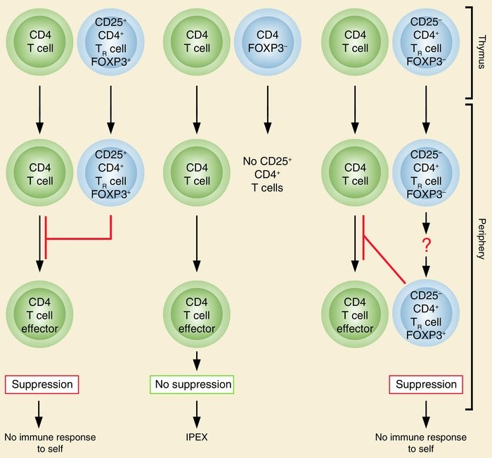 Figure 2. The normal thymus produces FOXP3-expressing CD25+CD4+ TR cells. Some of the naive CD25–CD4+ T cells may also differentiate to FOXP3-expressing CD25+CD4+ TR cells in the periphery. These TR cells suppress the activation and expansion of self-reactive T cells that may cause autoimmune disease. Genetic defects of FOXP3 cause IPEX due to developmental or functional defects of TR cells. http://www.jci.org/articles/view/20274/figure/1