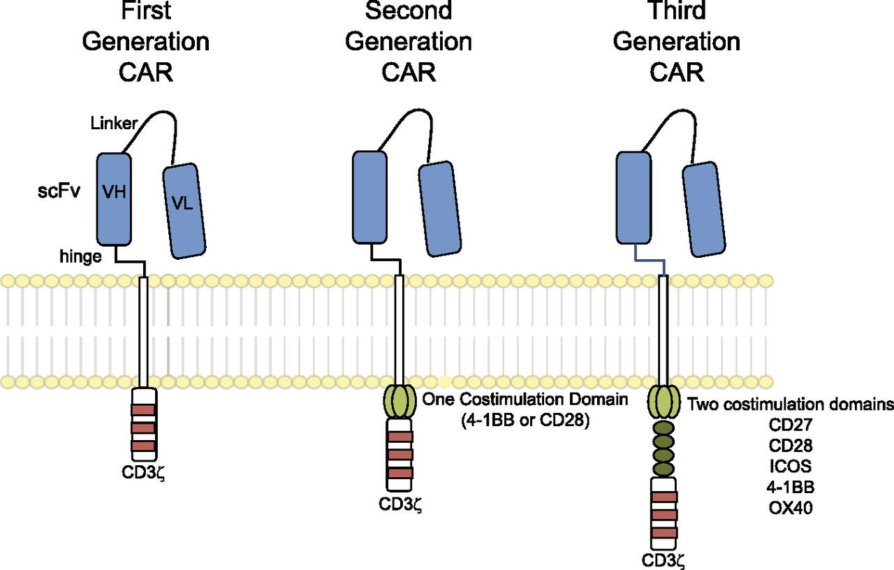 Figure 1. Chimeric antigen receptors. CARs target surface antigens in an MHC-independent fashion and consist of an ectodomain, hinge domain, transmembrane domain, and endodomain. The initial trials tested first-generation CARs that have a single cytoplasmic domain. Current trials are testing second- and third-generation CARs that have combinations of signaling domains. http://www.bloodjournal.org/content/123/17/2625?sso-checked=true