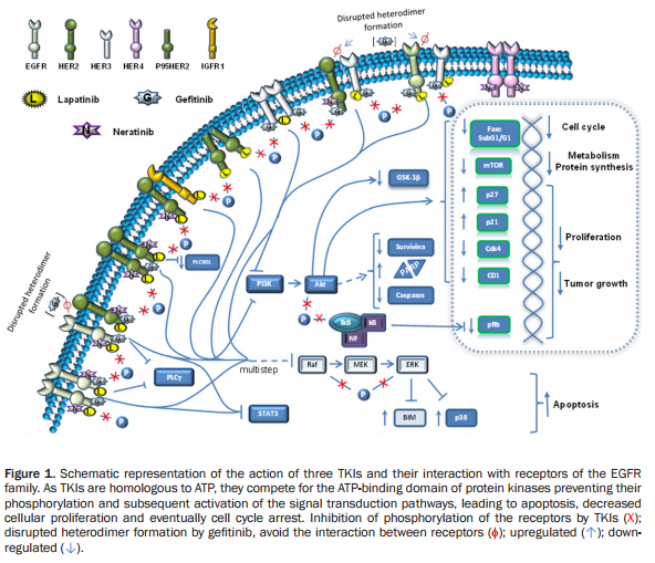 Figure 1. https://www.researchgate.net/publication/283296742_Efficacy_and_mechanism_of_action_of_the_tyrosine_kinase_inhibitors_gefitinib_lapatinib_and_neratinib_in_the_treatment_of_HER2-positive_breast_cancer_preclinical_and_clinical_evidence