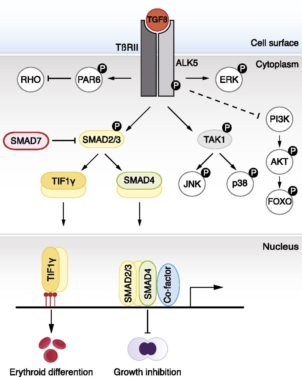 Figure 3. TGF-β ligands bind type I and type II receptors at the cell surface. Subsequently, the type I receptor (ALK5) becomes phosphorylated by the type II receptor. This leads to phosphorylation of SMAD2 and SMAD3, which form a complex with SMAD4. Activated complexes accumulate in the nucleus where they cooperate with DNA-binding cofactors to regulate target gene transcription. SMAD2 and SMAD3 also bind to TIF1γ. In embryonic stem cells, SMAD2/3-TIF1γ recognizes specific chromatin marks, promoting access of SMAD2/3-SMAD4 to otherwise repressed targets. TIF1-γ–SMAD2/3 promotes erythroid differentiation whereas SMAD4-SMAD2/SMAD3 complexes inhibit proliferation. In certain cell types, JNK and p38 are phosphorylated by TAK1 and constitute, together with the PI3K-AKT-FOXO axis, ERK, and PAR6, so-called noncanonical signaling responses to TGF-β. The dashed line indicates unclear molecular mechanism. http://www.bloodjournal.org/content/125/23/3542?sso-checked=true