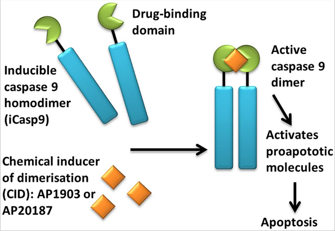 Figure 4. Activation of iCasp9 results in the death of transduced cells. Inducible caspase 9 (iCasp9) is produced in the transduced cell as a homodimer with a drug-binding domain. Administration of CID (AP1903 or AP20187) results in dimerization of caspase 9 leading to an activated form of the molecule, which then initiates a signaling cascade leading to apoptosis of the transduced cell. https://www.ncbi.nlm.nih.gov/pmc/articles/PMC4211380/