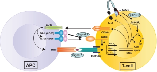 "Figure 3. T-cell activation by three signals. The first involves T-cell receptor (TCR) triggering by donor antigen on APCs (antigen presenting cells). The second signal or ""costimulation signal"" is delivered when B7-1/CD80 and B7-2/CD86 on the surface of APCs engage CD28 on T-cells. These two signals activate three transduction pathways (the Nuclear Factor-κB or Nf-κB pathway, the mitogen-activated protein (MAP) kinase pathway and the calcium-calcineurin pathway) that result in the production of numerous factors, including interleukin-2 (IL-2), the α–chain of its receptor, CD25, and the CD40 Ligand. CD40 is expressed on all APCs (including B cells) and its ligand (CD40L or CD154) is on activated CD4+ T-cells and on a subset of CD8+ T-cells and NK cells. Stimulation of CD40 on APC by CD40L triggers important signals for antibody production by B cells and strongly induces B7 and Major Histocompatibility Complex (MHC) expression on APCs. IL-2 binding to its receptor activates the mTOR (""target of rapamycin"") pathway – the third signal – resulting in T-cell clonal proliferation. https://openi.nlm.nih.gov/detailedresult.php?img=PMC2721321_btt-1-203f1&req=4"