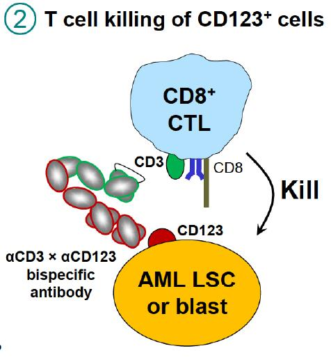 Figure 4. T cells killing CD123 AML cells. Binding of CD3 by XmAb14045 activates T cells for highly potent and targeted killing of CD123 expressing tumor cells. https://www.researchgate.net/publication/307509940_Immunotherapy_with_Long-Lived_Anti-CD123_Anti-CD3_Bispecific_Antibodies_Stimulates_Potent_T_Cell-Mediated_Killing_of_Human_AML_Cell_Lines_and_of_CD123_Cells_in_Monkeys_A_Potential_Therapy_for_Acute_My