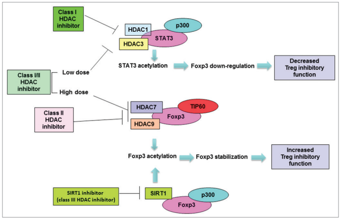 Figure 1. Modulation of Treg function with class-specific HDAC inhibitors. Class I HDAC inhibitors induce acetylation of STAT3 by inhibiting HDAC3 or HDAC1, downregulate Foxp3 gene expression and suppress Treg function. Class II HDAC inhibitor treatment induces Foxp3 hyperacetylation by targeting HDAC7 and HDAC 9, which leads to stabilization of Foxp3 protein and enhanced Treg function. SIRT1 (Class III specific) inhibitor also induces hyperacetylation and stabilization of Foxp3 protein, and enhances the Treg function. A pan inhibitor may target Class I HDACs at a low dose and impair Treg function. At a higher dose, the pan inhibitor may target Class II HDAC and show a dominant Treg promoting effect. http://www.tandfonline.com/doi/pdf/10.4161/onci.20306?needAccess=true&