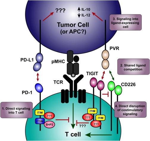 T helper cell