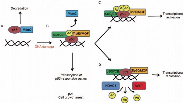 Acetylation of p53 activates transcription through ...