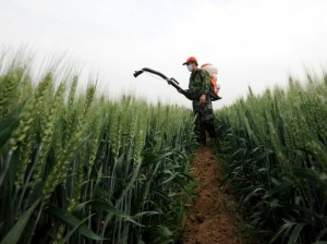 A farmer sprays pesticide in a wheat field in Zaozhuang, Shandong province on May 14, 2013. (China Daily/Courtesy Reuters)